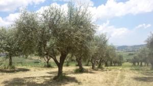 Epik<sup>®</sup> SL su olivo: un solo prodotto per quattro parassiti