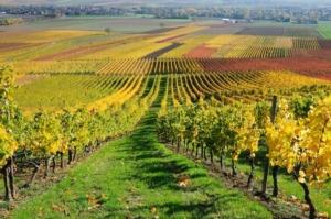 Uva da vino: il punto sulla difesa fitosanitaria