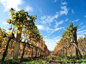 Uva da vino, sotto controllo la situazione fitosanitaria