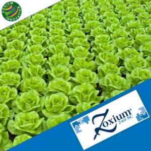 Zoxium 240 SC: estensione temporanea su insalate, spinacio e rucola