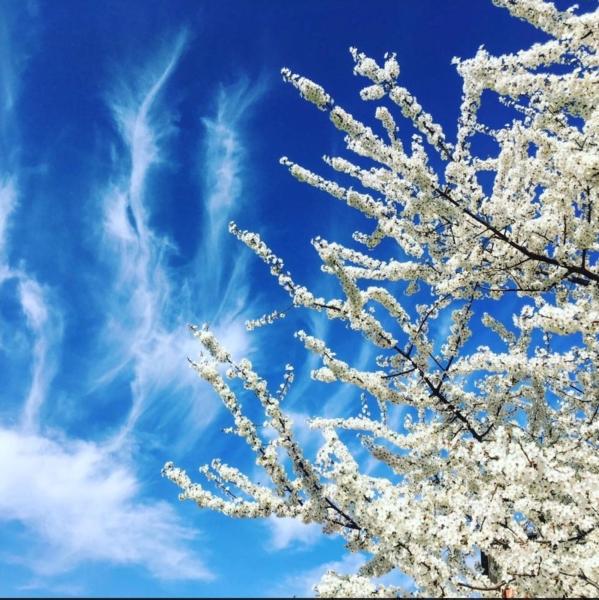 fiori-ciliegio-cielo-azzurro-andrea-raggini.jpeg