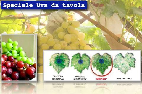 Uva da tavola variet mercato difesa e nutrizione - Potatura vite uva da tavola ...