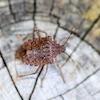 Cimice asiatica: come riconoscerla e quali danni provoca alle coltivazioni
