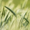 Specie infestanti nei cereali: quali sono e come riconoscerle