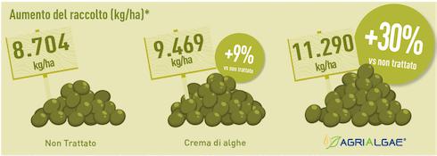 Aumento raccolto olivo - grafico