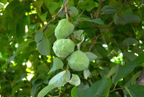 L'annona è un frutto originario dell'America Centrale e del Sudamerica