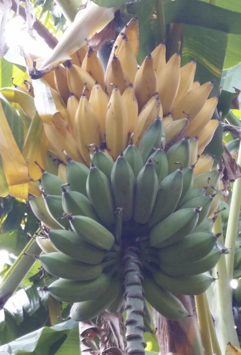 Le piante non necessitano di particolari cure agronomiche