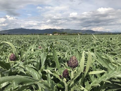 La pianta del carciofo non necessita di particolari cure agronomiche