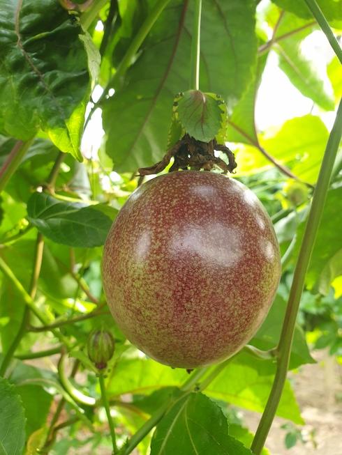 Il colore è rosso violaceo e il contenuto di polpa è tale da non lasciare vuoti all'interno dei frutti