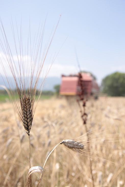 Una spiga di grano