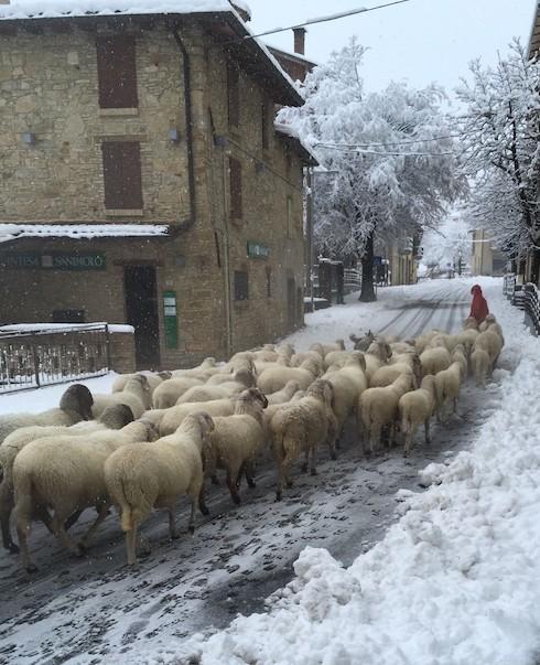 Le pecore cornigliesi non temono né il freddo né la neve