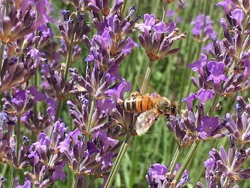 Quando le api non bottinano più il fiore si è raggiunto il periodo balsamico