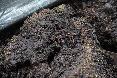 I lombrichi trasformano il compost in humus