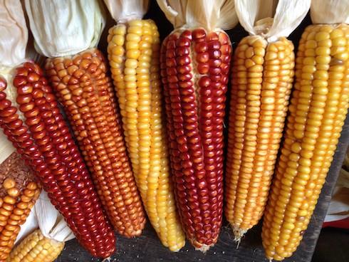 La varietà di mais locale è chiamata mais di Illegio o Sorc di Dieç in friulano