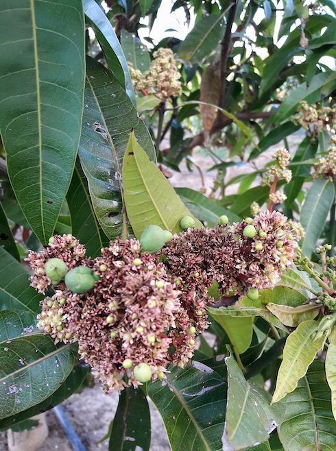 Mango in fiore