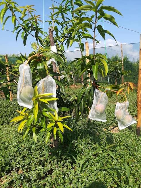 Mango insacchettato sulla pianta