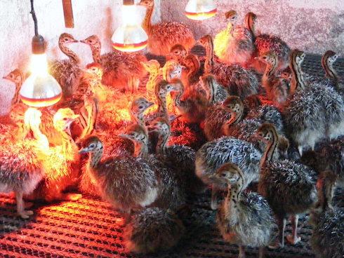 Pulcini dell'azienda agricola Laos Struzzi