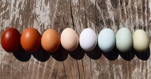 Ogni gallina produce uova dal guscio di colore diverso