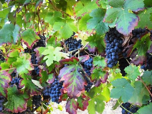 Sono numerosi i vitigni autoctoni della società agricola