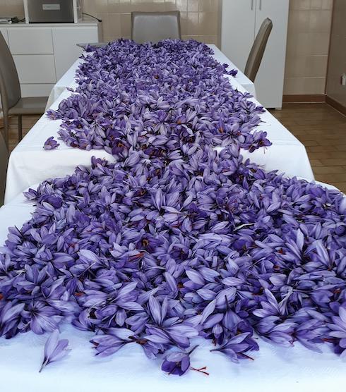 Al termine della raccolta i fiori vengono posati su un tavolo per iniziare la mondatura