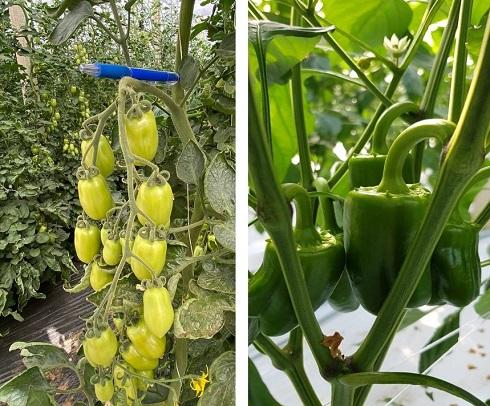 Pomodori e peperoni coltivati in serra in accordo alle linee tecniche di Aifar