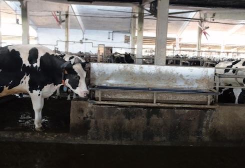 Le bovine della Begnoni Farm dispongono in media di 13 centimetri di abbeveratoio per capo. Anche d'estate, in uscita dalla sala di mungitura, le vacche trovano acqua tiepida