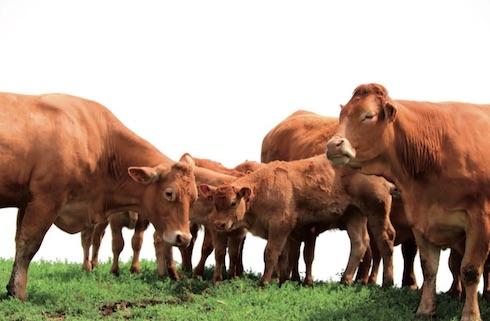 Parte dei numerosi studi su OmniGen-AF® sono stati condotti anche sugli allevamenti da carne