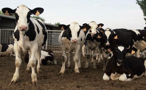 Negli Stati Uniti il secondo maggior costo di un'azienda da latte è quello determinato dalla riforma degli animali giovani che non arrivano al primo parto