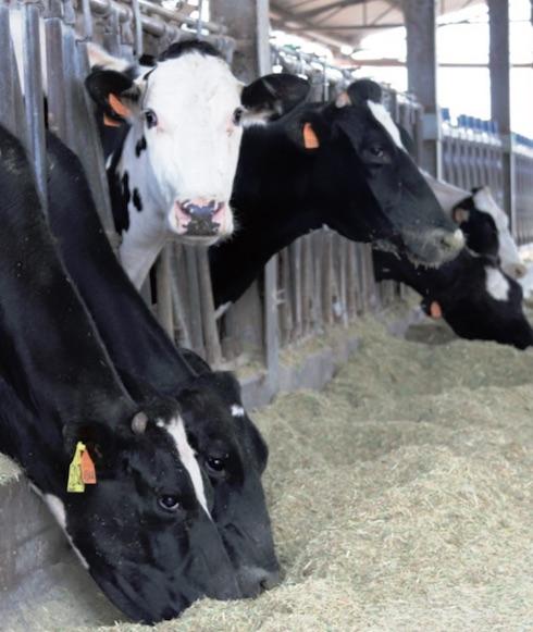 Grazie alla immunostimolazione, nelle vacche in post parto c'è stato un crollo delle endometriti