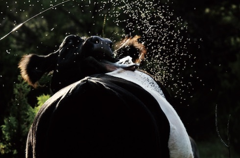 Con infestazioni di questo livello il benessere degli animali è un obiettivo lontano da raggiungere