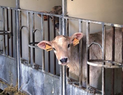 È dimostrato che la capacità di assorbimento degli anticorpi colostrali da parte del vitello migliora se la madre è stata correttamente alimentata durante il periodo dell'asciutta
