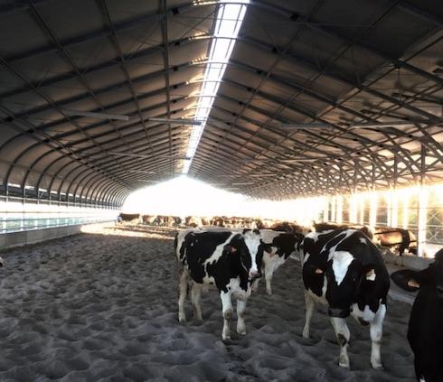 Nel Farm tunnel zona rimonta le manze hanno a disposizione ampi spazi e sono libere di recarsi nell'attiguo paddock