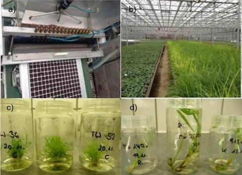 Metodi di propagazione del M. giganteus sperimentati durante il progetto Optimisc