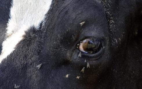 Le secrezioni dell'occhio sono un'irresistibile attrattiva per molti insetti