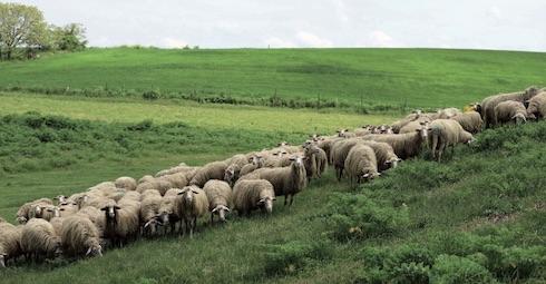 Le pecore svolgono un importante lavoro di presidio ambientale