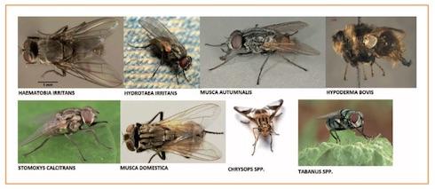 Alcune delle diverse specie di mosche che infestano il bestiame