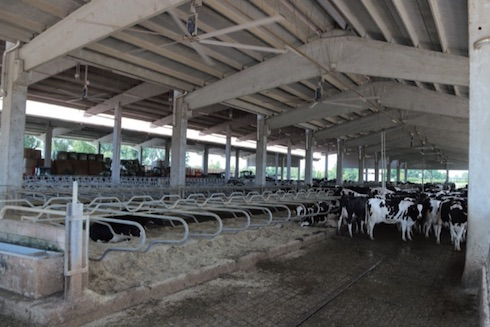 Le oltre 250 vacche in lattazione sono attualmente allevate nella nuova stalla