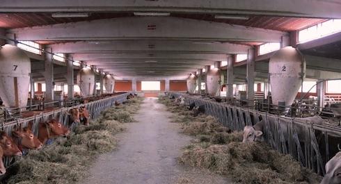 La stalla delle vacche in mungitura. A sinistra i gruppi di Rosse Reggiane, a destra i gruppi di Brune