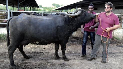 Tommaso Lanna è anche esperto nazionale Anasb e alleva una mandria di bufale di ottima genealogia. Qui è con Mafia, campionessa di riserva alla mostra nazionale Anasb del 2017
