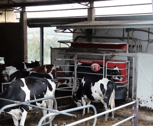 L'azienda munge al robot una quarantina di vacche