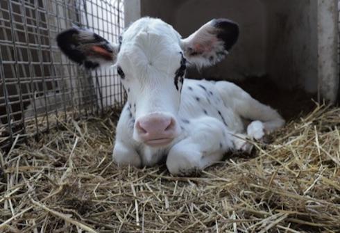 Con una corretta applicazione dei piani di lotta alle mosche anche i vitelli possono crescere in tranquillità e senza il fastidio degli insetti