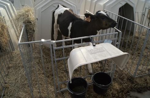 I ricercatori norvegesi hanno sottolineato come unendo separazione tardiva e permanenza notturna con la madre, i vitelli crescano maggiormente anche dopo la separazione