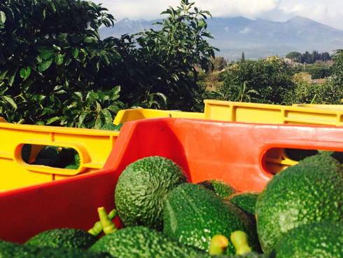 Frutti di avocado prodotti in Italia sotto l'Etna dall'azienda venduti con il brand 'Sicilia avocado'