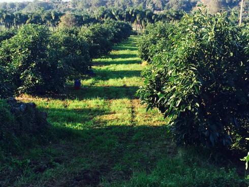 Impianto di avocado in Sicilia