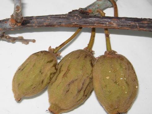 Sintomi di Batteriosi dell'actinidia o Pseudomonas syringae pv actinidiae su kiwi