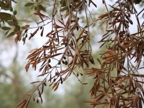 Sintomi di Xylella fastidiosa su pianta di olivo