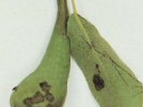 Ticchiolatura del pero, Venturia pirina, sintomi du frutto