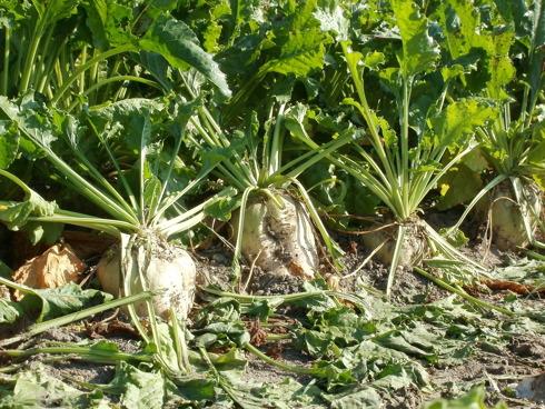 Fittoni di barbabietola da zucchero pronti per essere raccolti