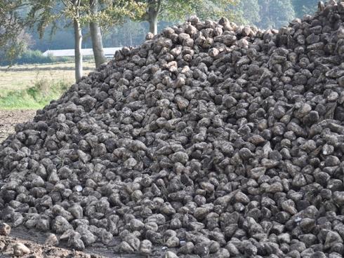 Cumulo di fittoni di barbabietola da zucchero dopo la raccolta