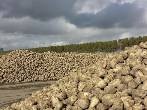 Un catasta di fittoni di barababietola da zuccheri dopo la raccolta